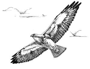 Black_and_white_line_art_drawing_of_swainson_hawk_bird_in_flight