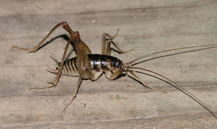 mostly camel crickets are considered household pests because of their