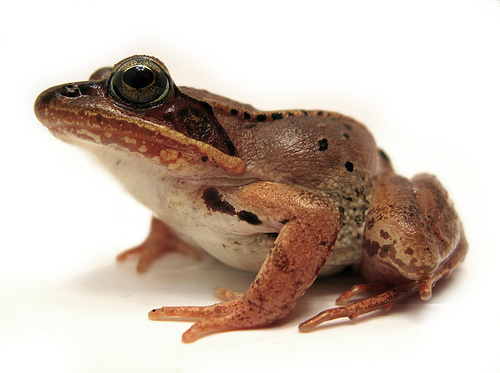 Flicker DAve Huth Wood Frog