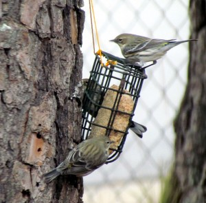 Bobistraveling flicker suet feeder