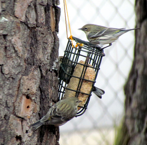 Asheville, Learn How to Make Suet for Wild Birds