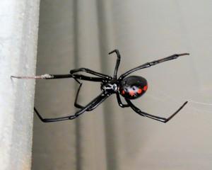 Southern_Black_Widow_08-08-22 L. variolus wiki