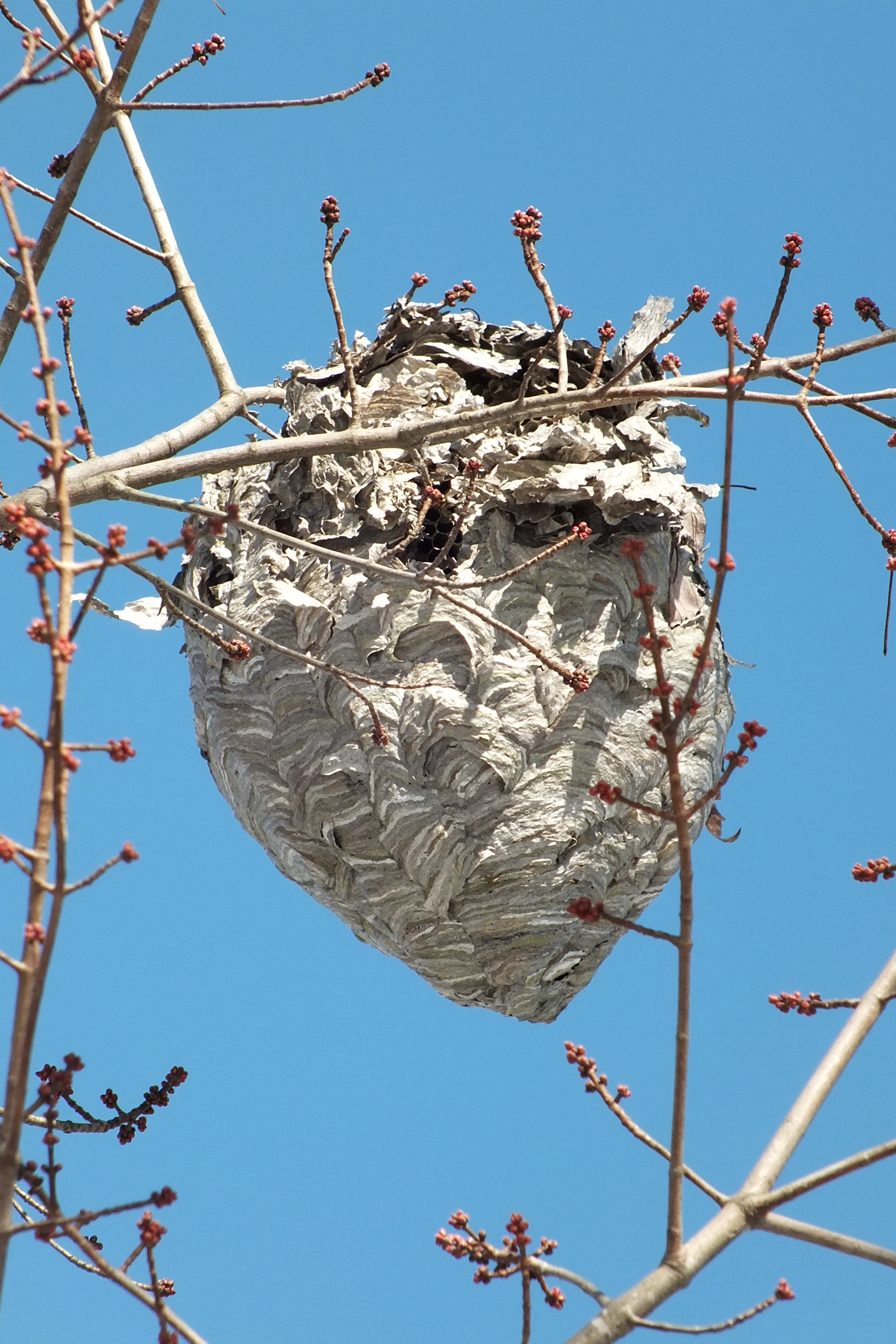 An Introdction to Paper Wasp Nests - The Infinite Spider