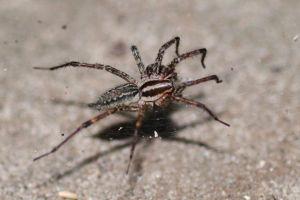 1280px-Grass_spider_(Agelenopsis_naevia)