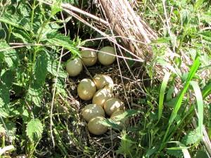 1024px-Wild_Turkey_nest_and_eggs Wiki