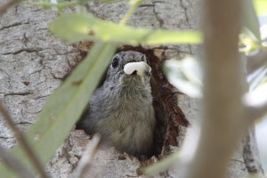 An oak titmouse removing a fecal sac from her nest.