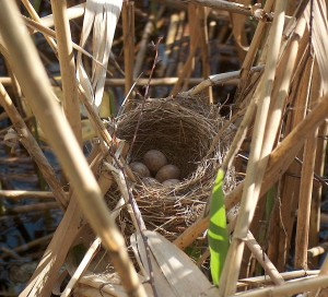 Great reed warbler cup nest