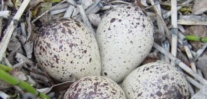Oyster catcher eggs (nps)