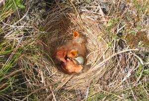 Redwing_nest wiki