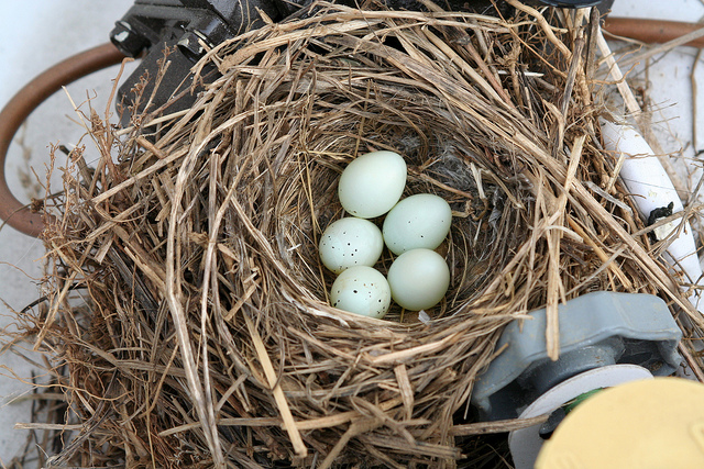 house finch nest Mike Allen flicker