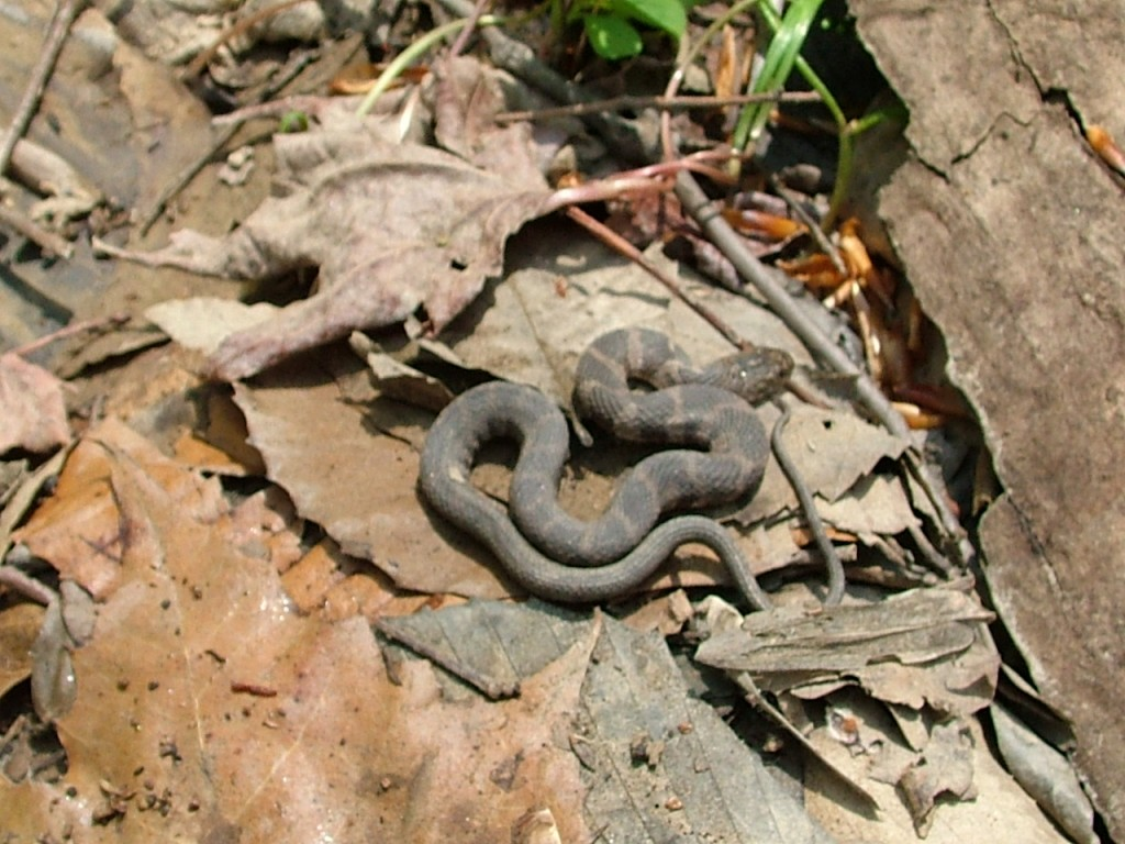 Copperhead snakes and water the infinite spider