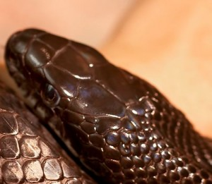 David flicker, black rat snake head scales
