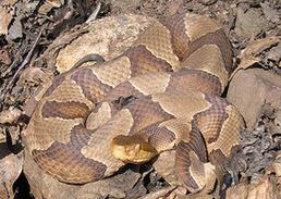 Northern copperhead Zack flicker
