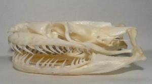 Python_skull