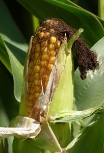 corn wiki