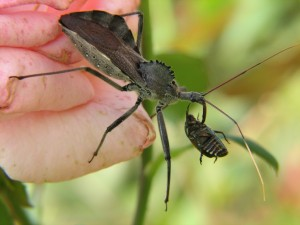 A_Wheel_bug_(Arilus_cristatus)_eating_a_Japanese_beetle_(Popillia_japonica)