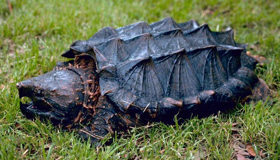 Alligator_snapping_turtle