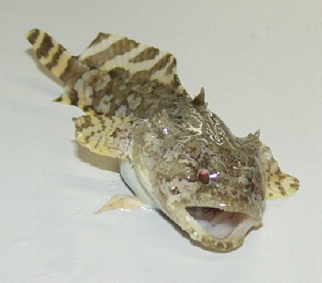 oyster toad wiki