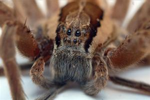Nursery_Web_Spider_Eyes