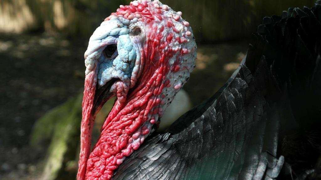 turkey-114279_1920 (2)