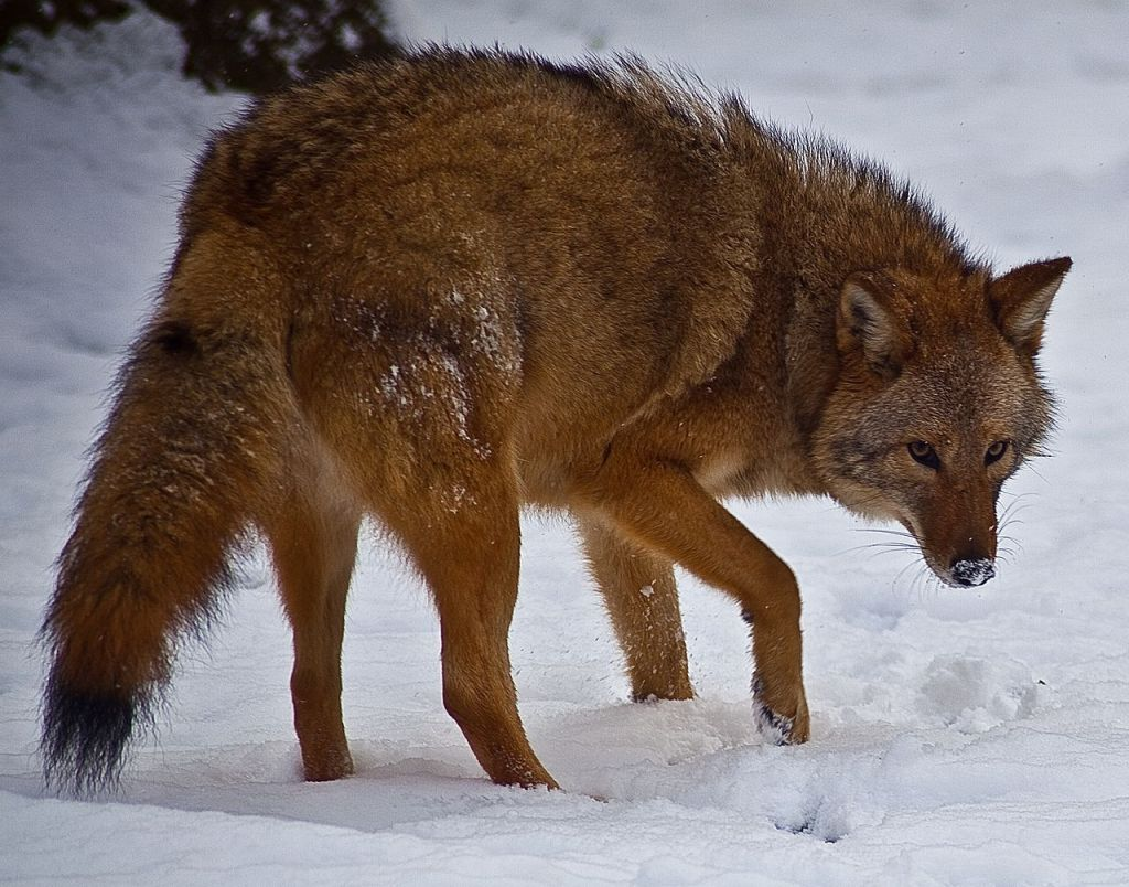 1280px-Coyote-face-snow_-_Virginia_-_ForestWander