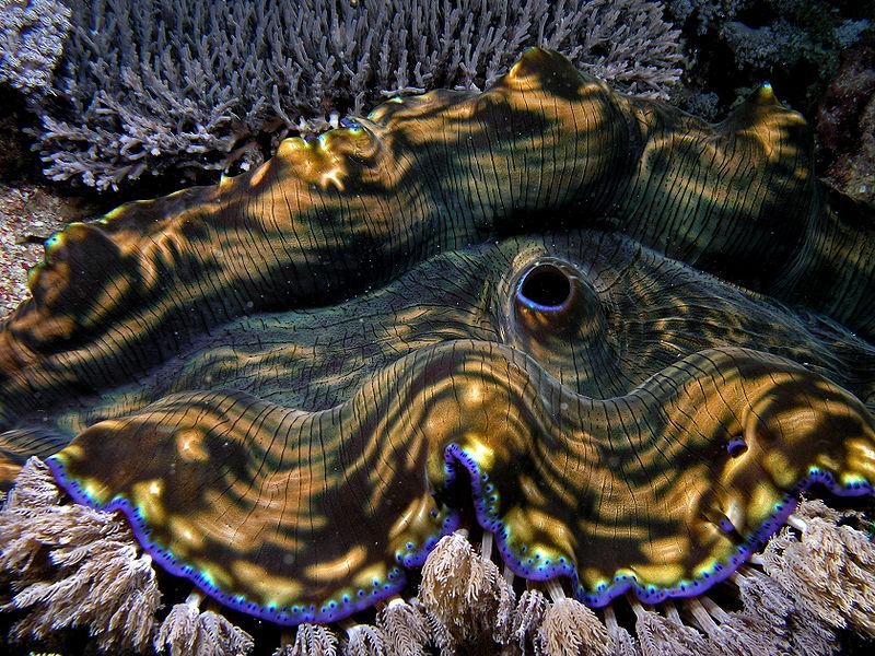 800px-Giant_clam_komodo