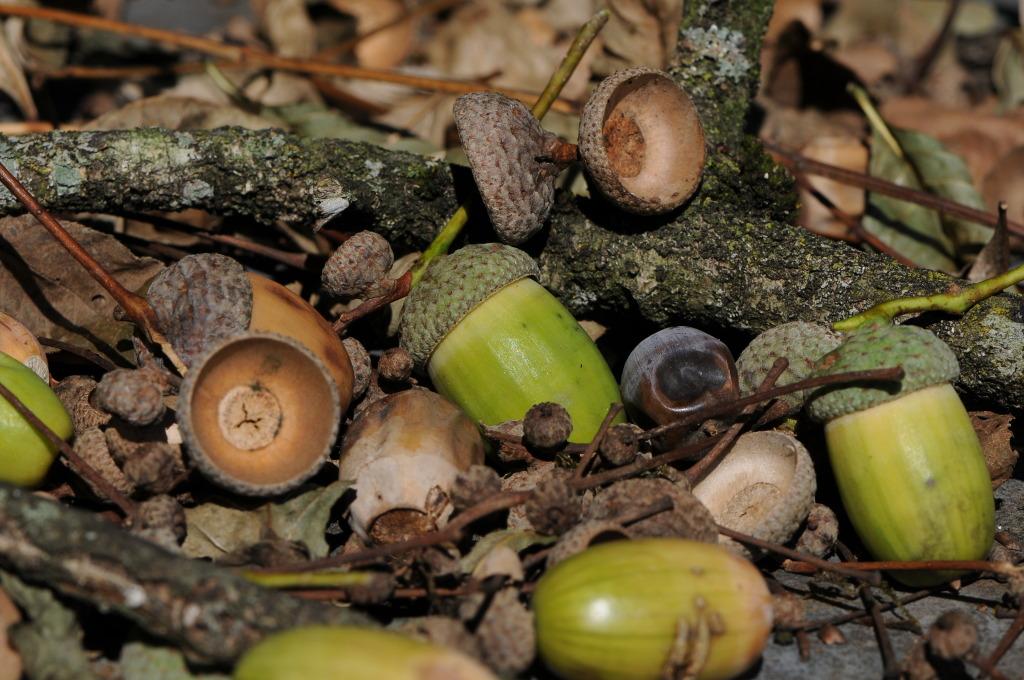 Acorns_of_Quercus_robur,_Eichel_der_Stieleiche_19