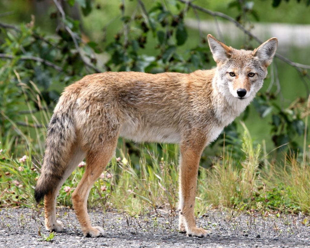 Coyote_in_Alaska