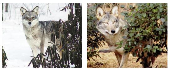 coywolves from canadia journal