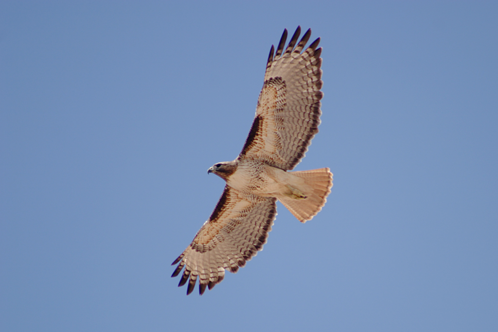 Red-tailed_Hawk_(Buteo_jamaicensis)_in_flight