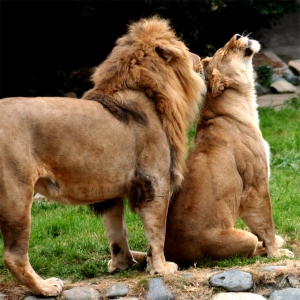 Lions_in_love