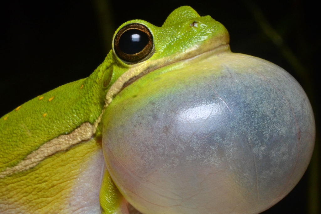 Flickr_-_ggallice_-_Green_tree_frog