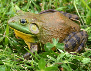 North-American-bullfrog1