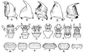 ladybug morphology poorani et. al