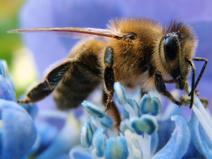 Western_honey_bee