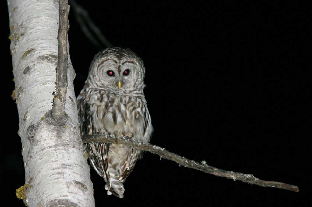 barred owl wiki