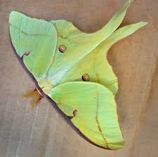 luna moth wiki commons