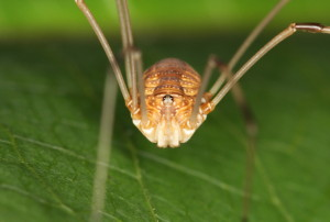 Flicker john flannery harvestman