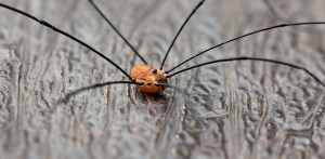 Leiobunum_rotundum,_Harvestman,male,_UK_(2)