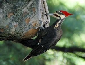 Woodpecker_20040529_151837_1c_cropped