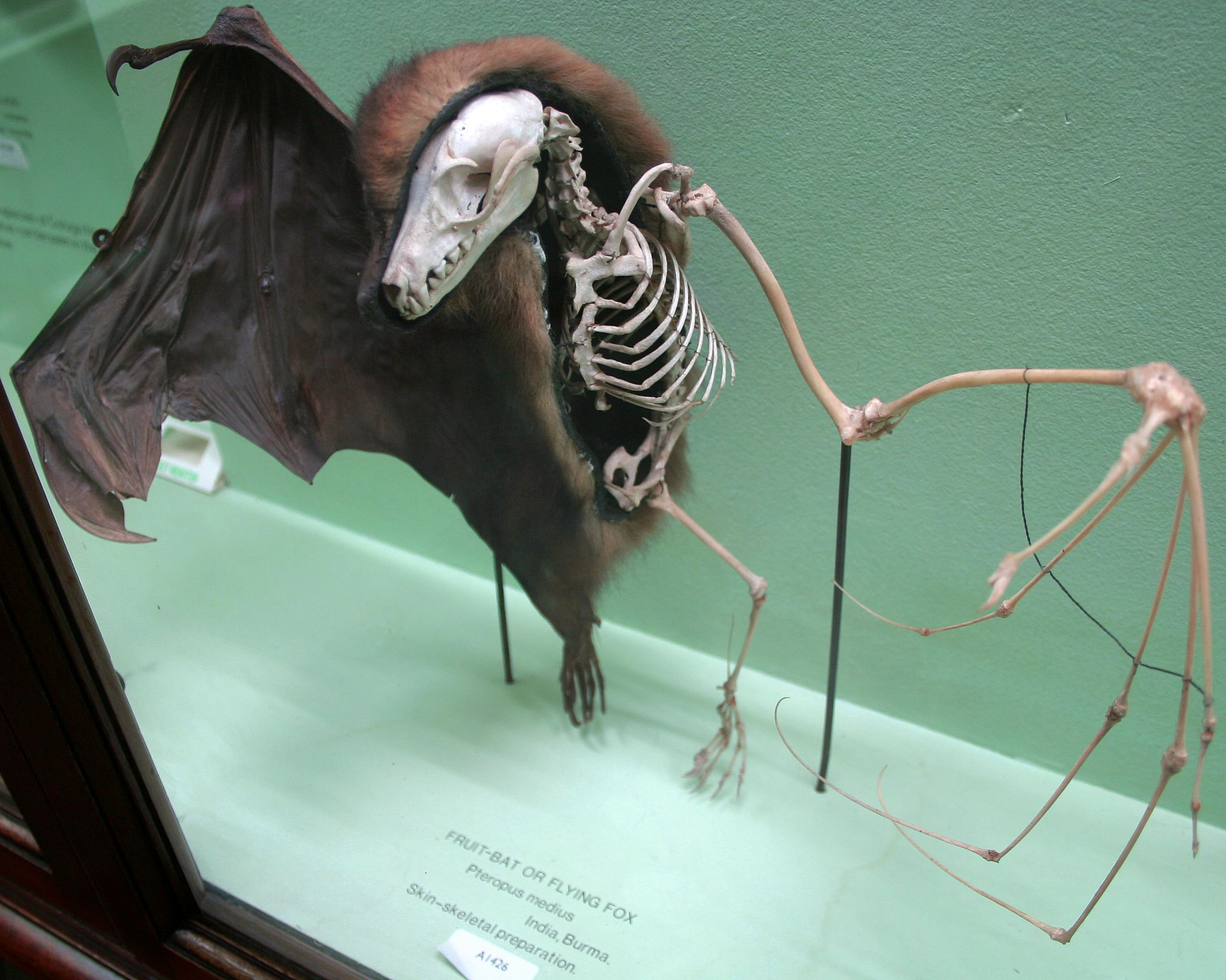Horniman Fruit Bat Skin Skeleton