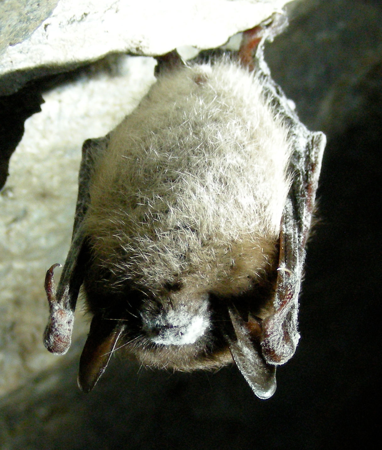 introduction to brown bats the infinite spider