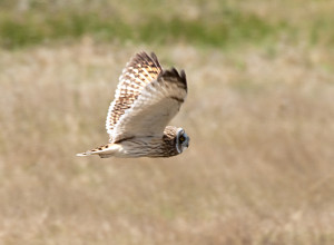 Short-eared_Owl_-_Ruh-red_Road_-_1