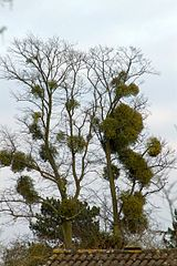 160px-Mistletoe_infested_tree