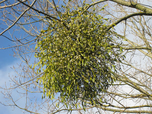Mistletoe,_coming_soon_to_a_market_near_you_-_geograph.org.uk_-_1585249