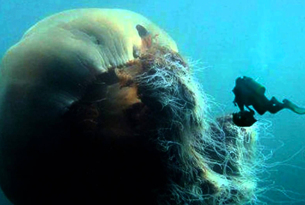 Lion's Mane Jellyfish or Winter Jelly - The Infinite Spider