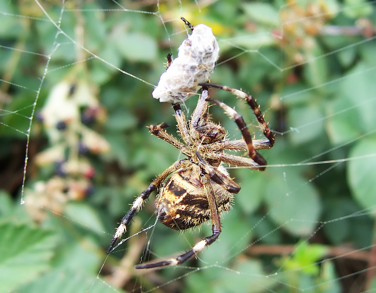 Spider in web with prey - photo#35