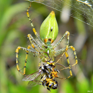 bob peterson green lynx spider flicker hsaring