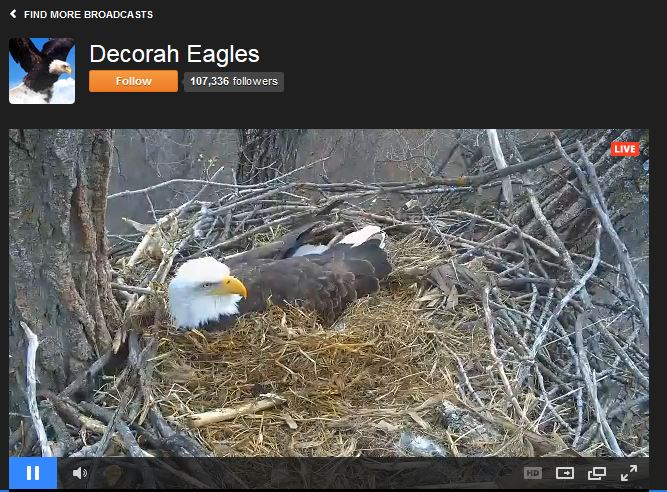 Decorah North eagle cam (Photo: Raptor Resource Project).