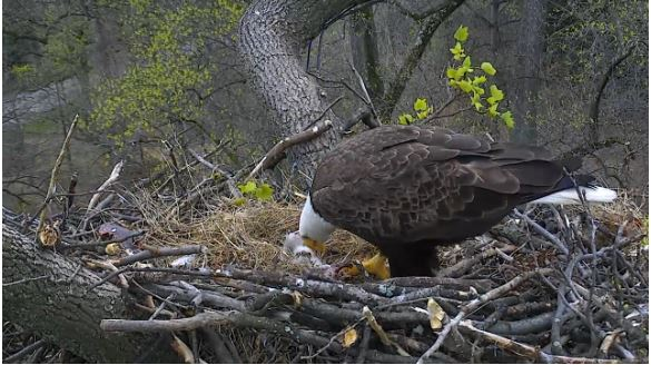 Eagle cam from the National Arboretum (Photo: American Eagle Foundation).